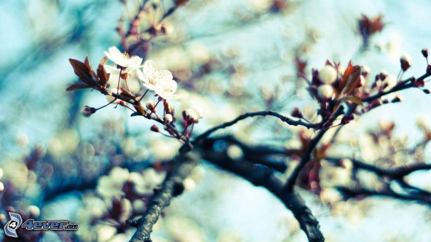 ramoscello fiorito, ciliegio in fiore, fiori bianchi