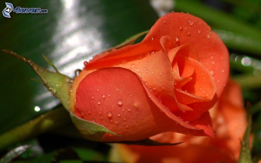 rosa arancione, gocce d'acqua