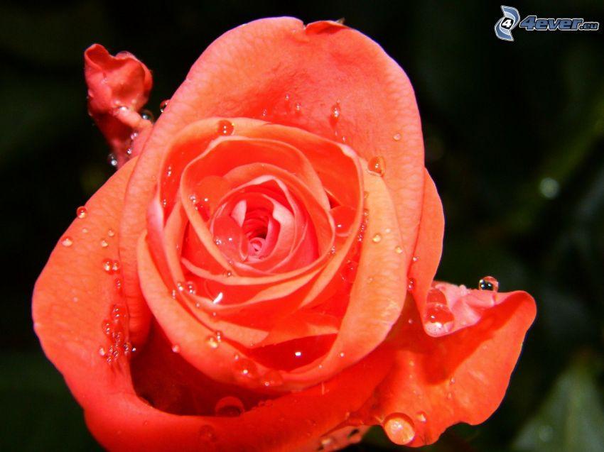 rosa arancione, rosa con rugiada