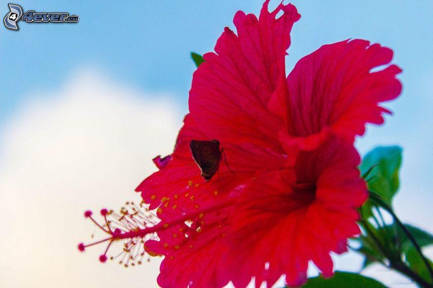 rosa cinese, farfalla