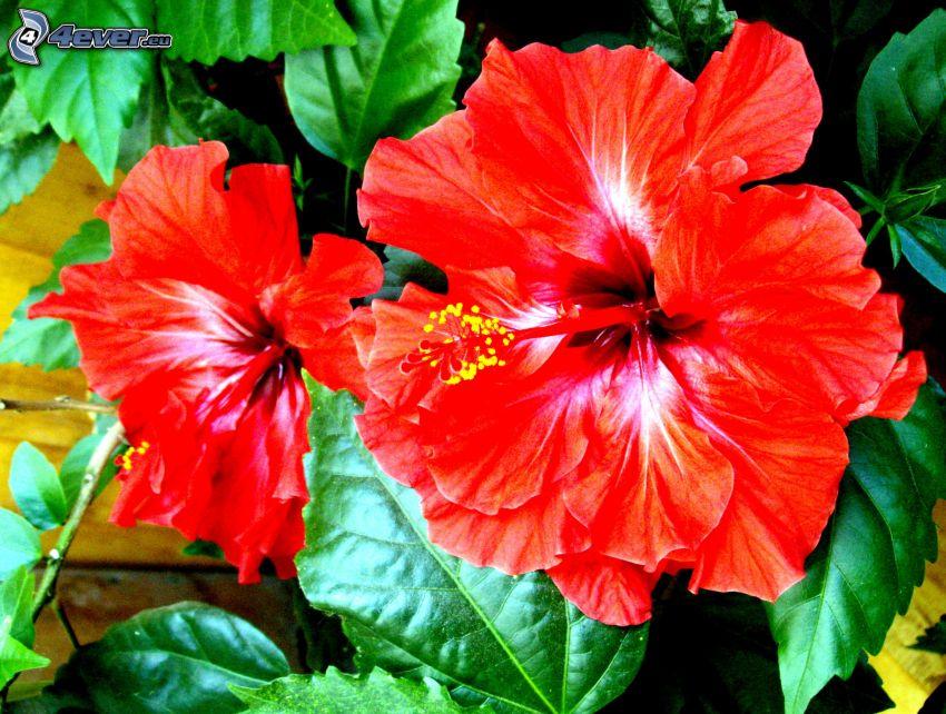 rosa cinese, fiore rosso, foglie