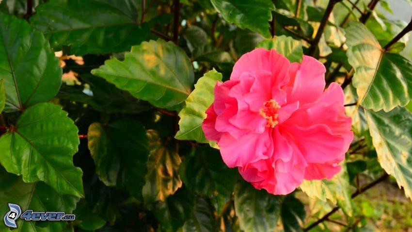 rosa cinese, foglie verdi