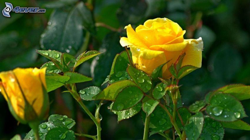 rose gialle, foglie coperte di rugiada