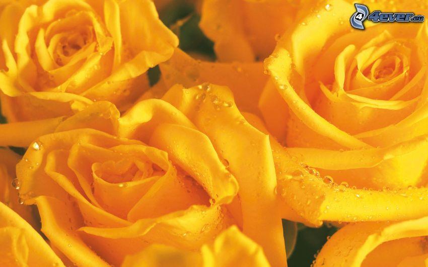 rose gialle, rosa rugiadosa