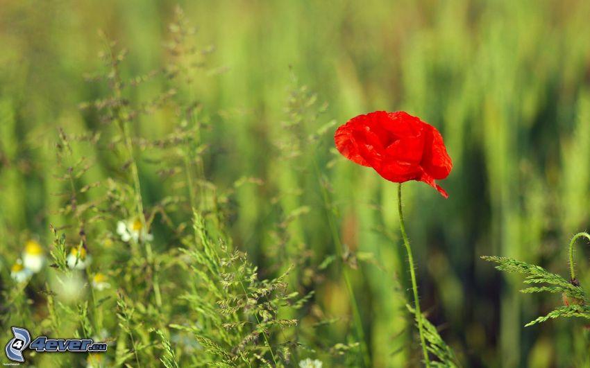 rosolaccio, fili d'erba