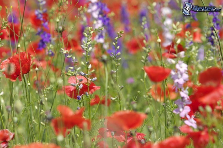 rosolaccio, fiori viola