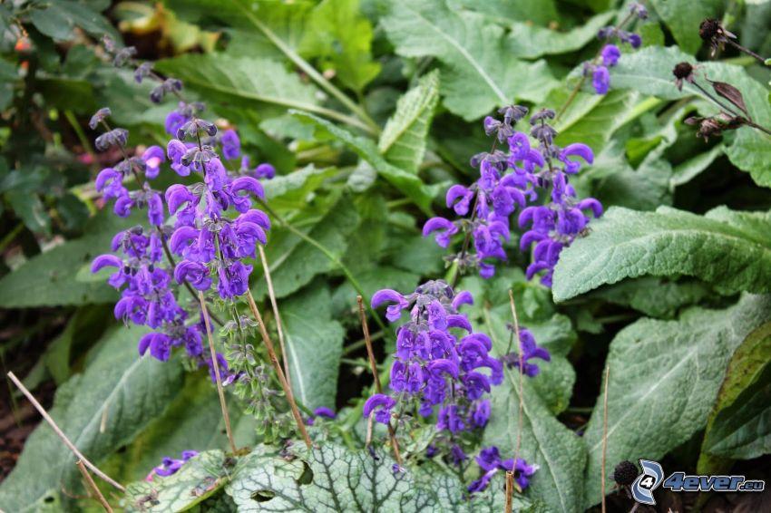 salvia, fiori viola, foglie verdi