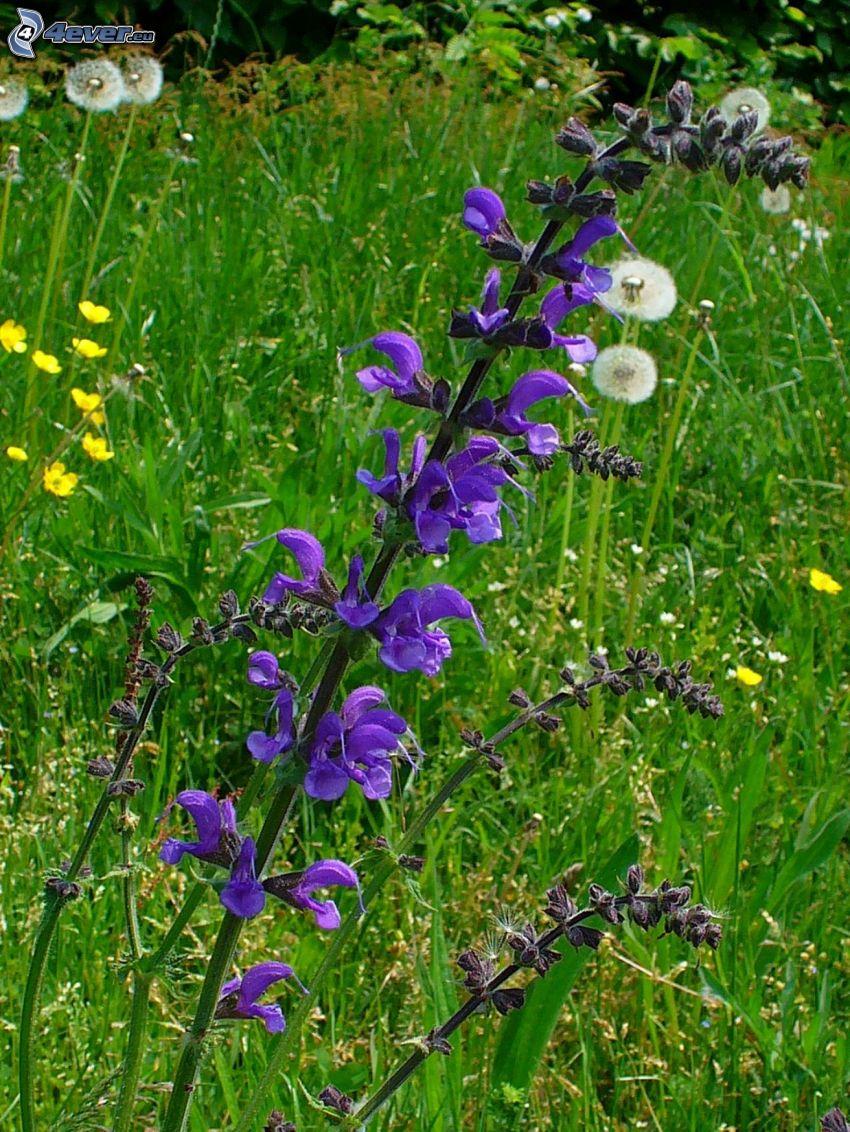 salvia, tarassaco sfiorito, colza, l'erba
