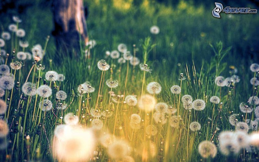 soffione, l'erba