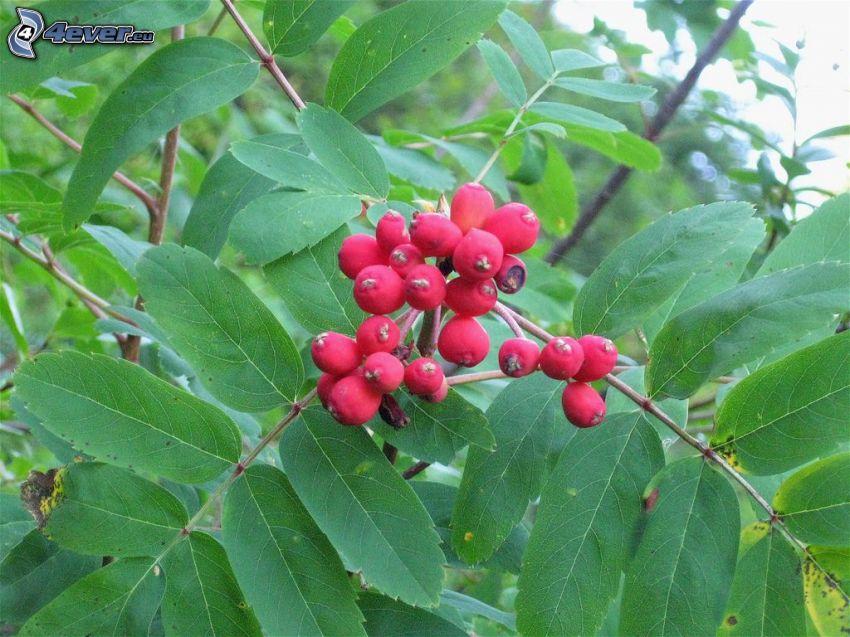 sorbo, foglie verdi