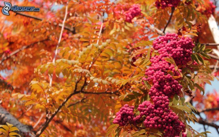 sorbo, le foglie d'arancio