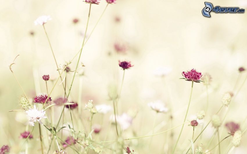 trifoglio, fiori rossi