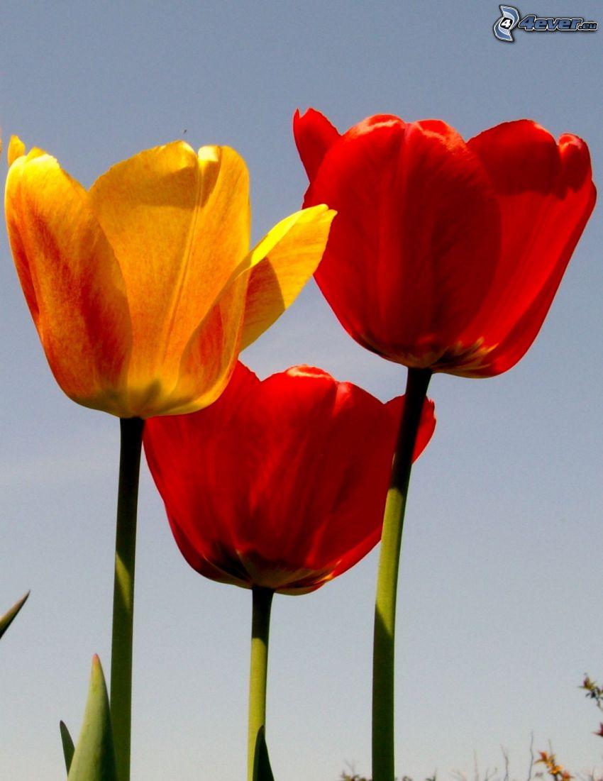tulipani, fiori, giallo tulipano, fiore rosso