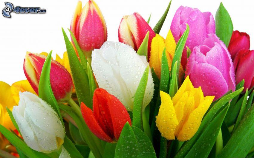 tulipani, fiori colorati, gocce d'acqua