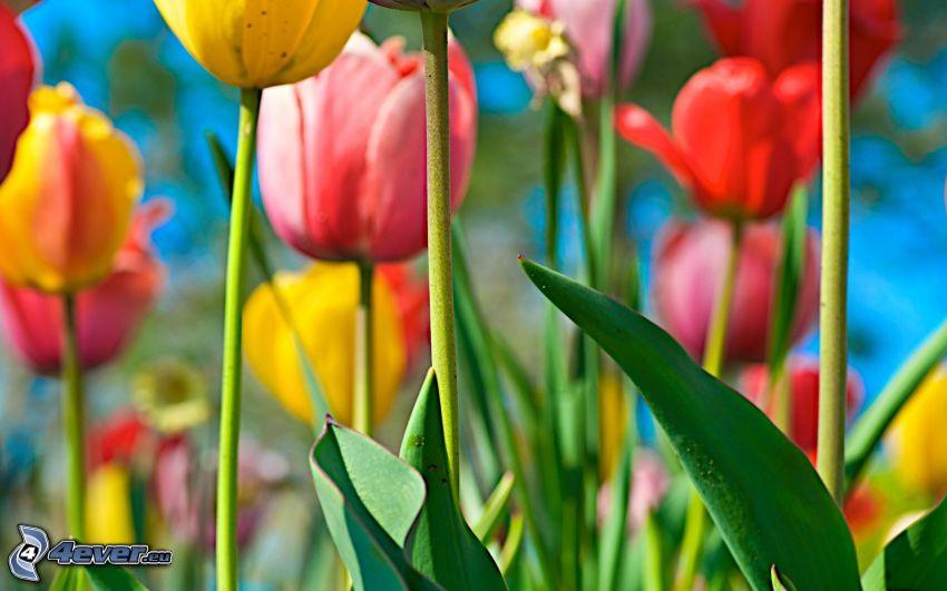 tulipani, fiori colorati