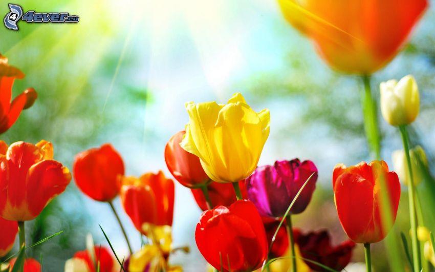 tulipani, tulipani rossi, giallo tulipano
