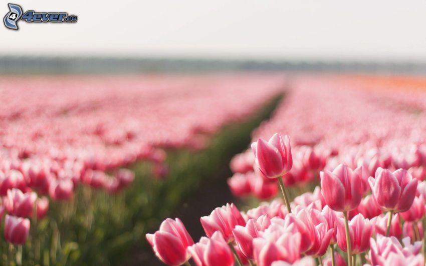 tulipani rosa, campo