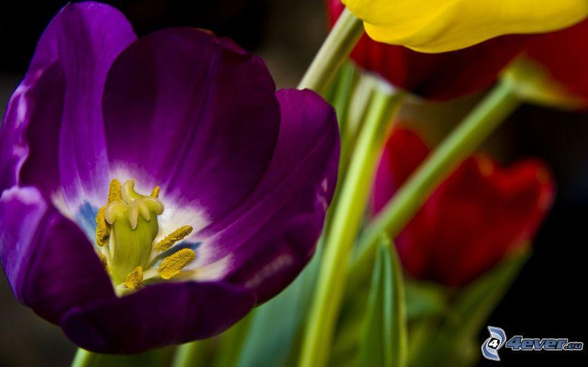 tulipano viola, fiori