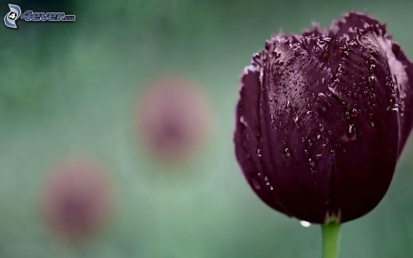 tulipano viola, gocce d'acqua