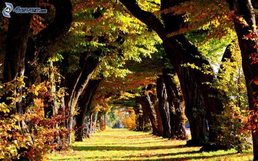 viale albero, foglie colorate, autunno