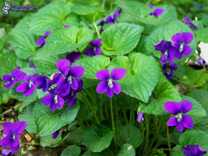 viole, foglie verdi