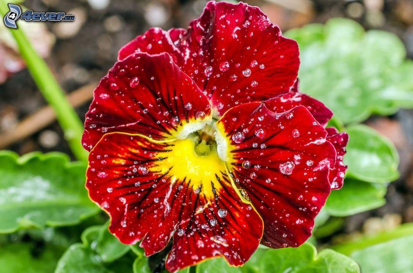 viole del pensiero, fiore rosso, gocce d'acqua