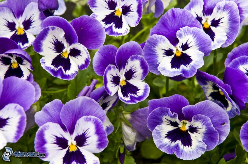 viole del pensiero, fiori viola