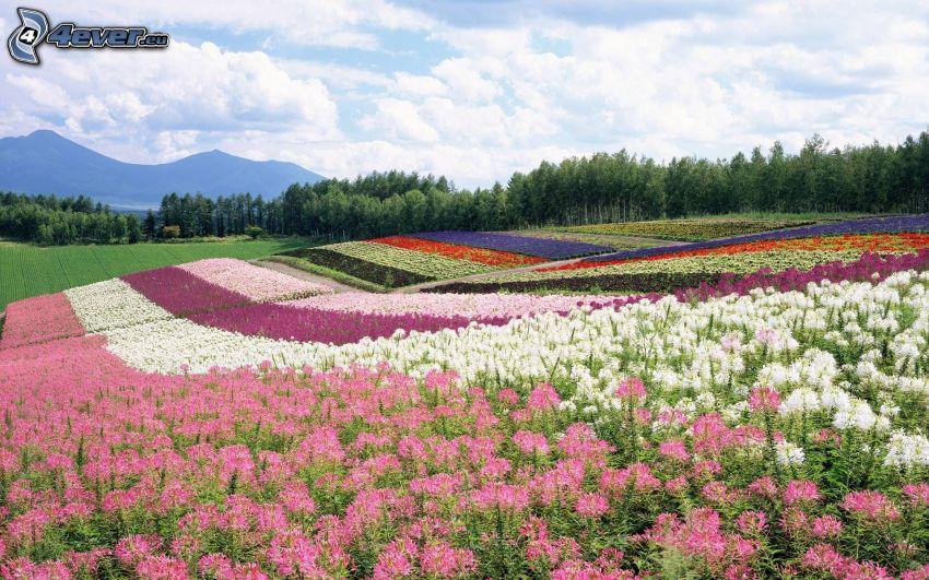 prato, fiori colorati