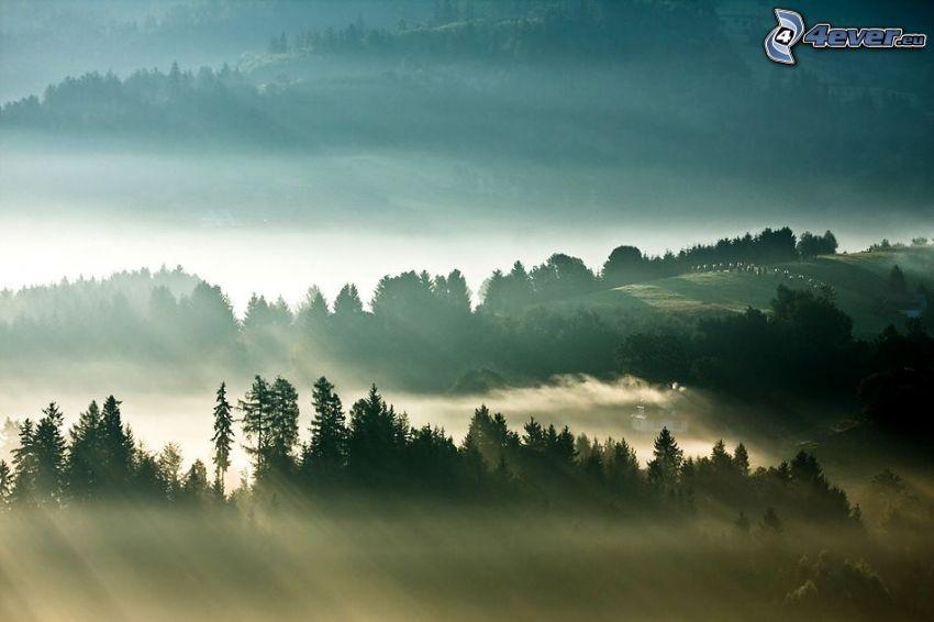 raggi del sole, alberi di conifere, nebbia a pochi centimetri dal terreno