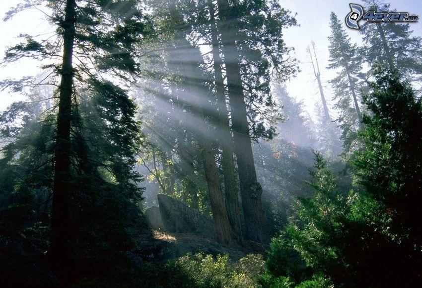 raggi di sole nella foresta, bosco di conifere