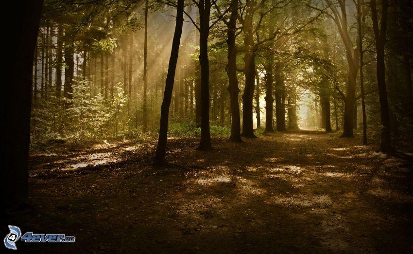 raggi di sole nella foresta, strada forestale
