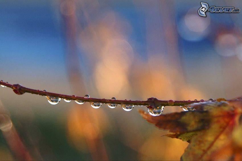 ramoscello, gocce d'acqua