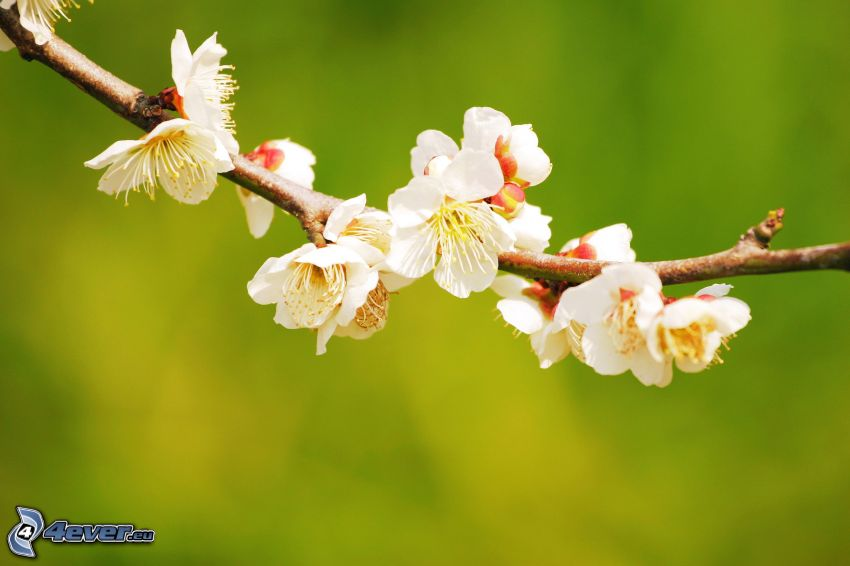 ramoscello fiorito, fiori bianchi