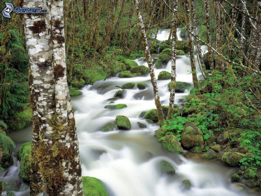 rivo in un bosco, verde