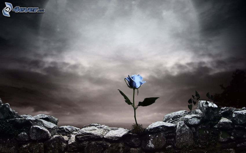 rosa blu, pietre, cielo scuro