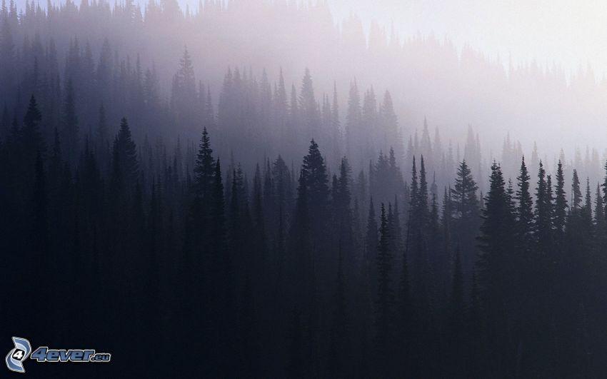 silhouette di una foresta, nebbia sopra una foresta