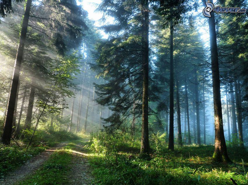 strada forestale, raggi di sole nella foresta, bosco di conifere