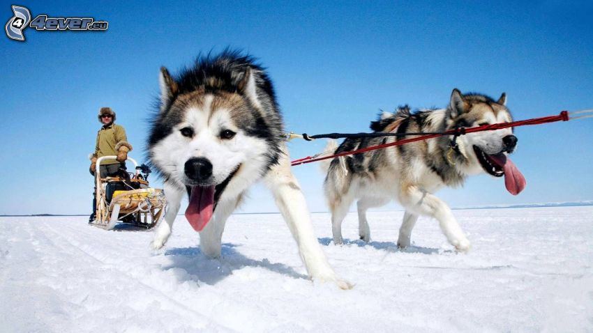cani da slitta, Siberian husky, la lingua fuori