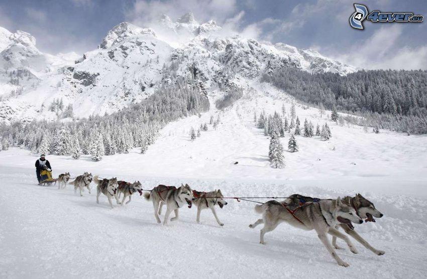 cani da slitta, Siberian husky, montagna innevata, paesaggio innevato