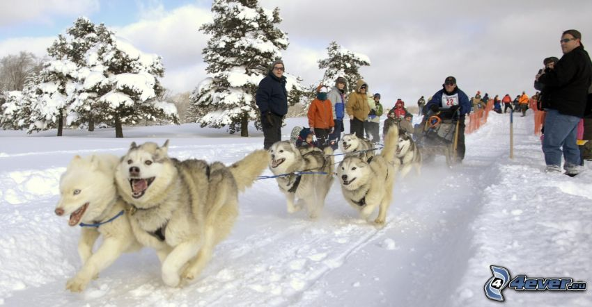 cani da slitta, Siberian husky, paesaggio innevato