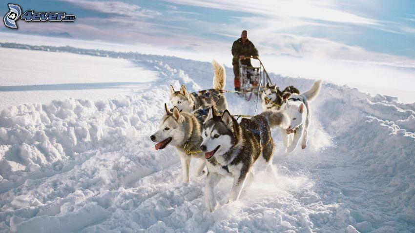 cani da slitta, Siberian husky, strada innevata