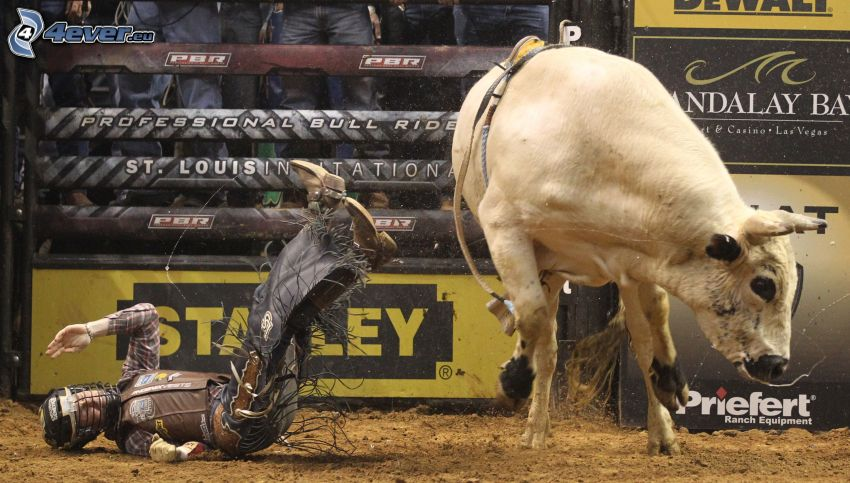 rodeo, toro, caduta
