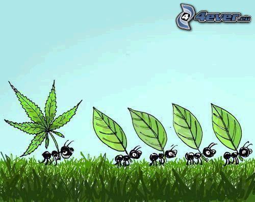 formiche, marijuana, cannabis, foglia