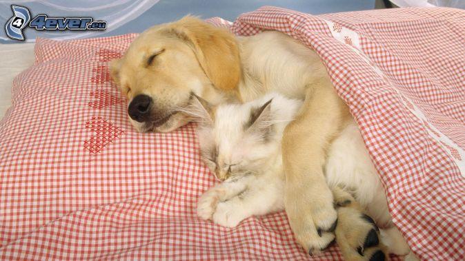 kutya és macska, alvás, párna, paplan