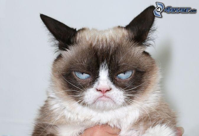 macska, tekintet, kék szemek