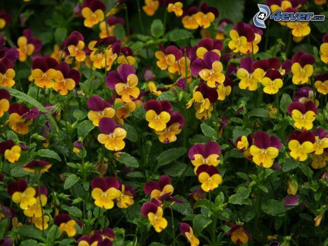 árvácskák, sárga virágok, lila virágok