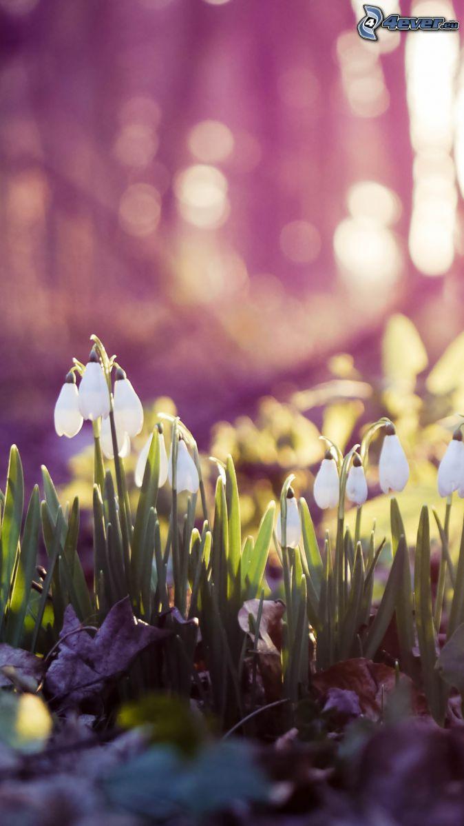 hóvirágok, száraz levelek