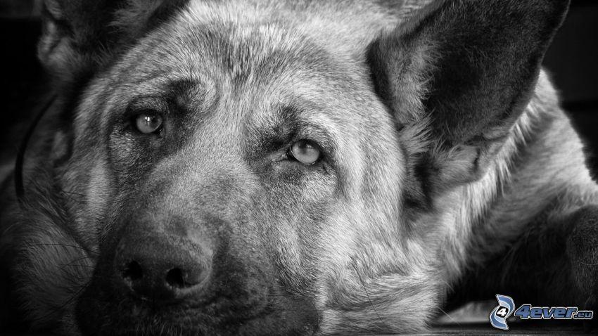 farkaskutya, arc, fekete-fehér