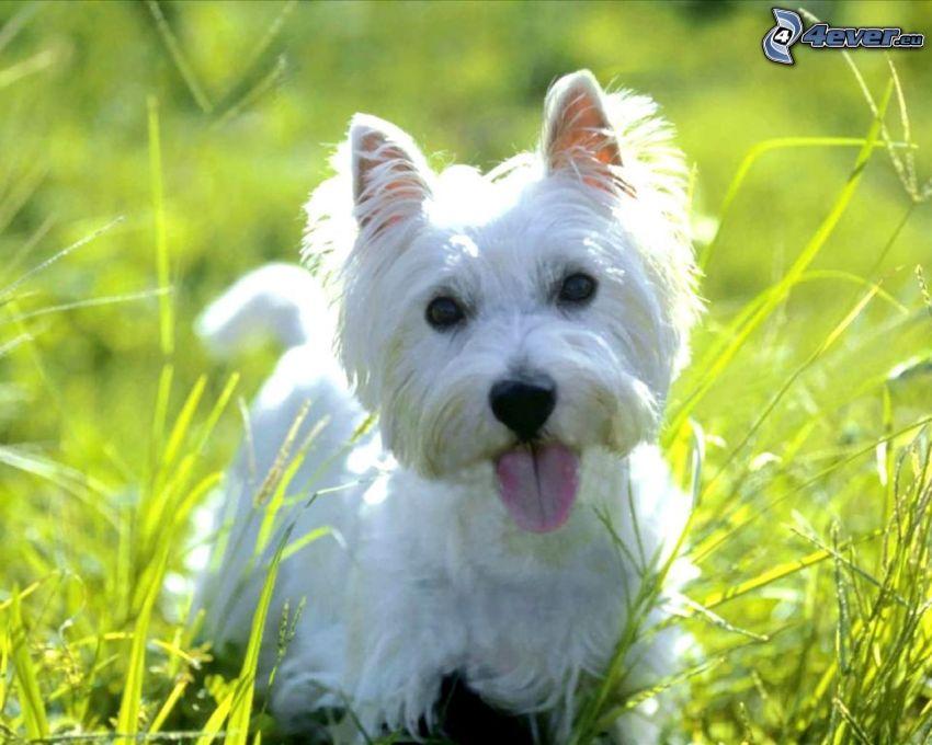 westie, fehér kiskutya, fűszálak