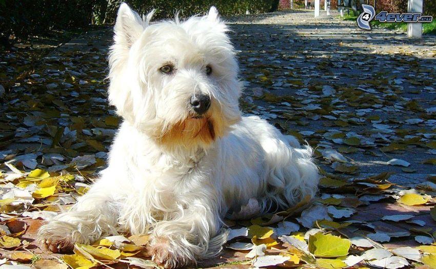 westie, út, őszi levelek